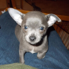 View our blue and lavender Chihuahua puppies for sale. Reserve a puppy from an experienced Chihuahua breeder!