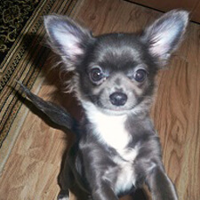 View our Chihuahua dams and moms - DJ Chihuahua