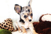 Tri-Color Chihuahua puppy gallery