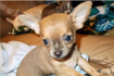 Brown and Tan Chihuahua gallery