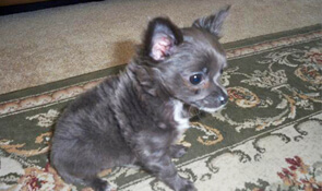 Short haired, long haired and smooth coat Chihuahuas for sale. View available puppies from DJ Chihuahua. Reserve a puppy from an experienced Chihuahua breeder.