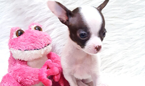 White, black, brown, tan, chocolate and tri-color Chihuahua puppies for sale. View available puppies from DJ Chihuahua. Reserve a puppy from an experienced Chihuahua breeder.