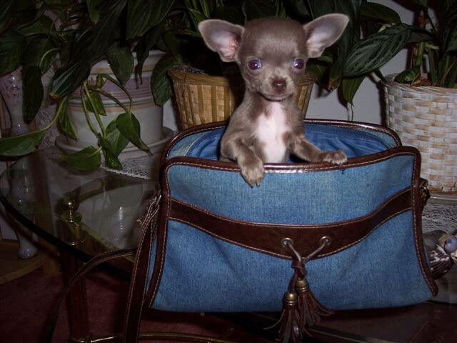 Teacup Chihuahua Puppies For Sale Akc Blue Chihuahua Breeder