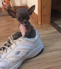 Teacup Chihuahua Puppies For Sale - AKC - Blue Chihuahua Breeder