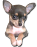 DJ Chihuahua puppies for sale